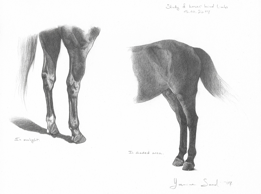 Study-of-horses'-hind-limbs